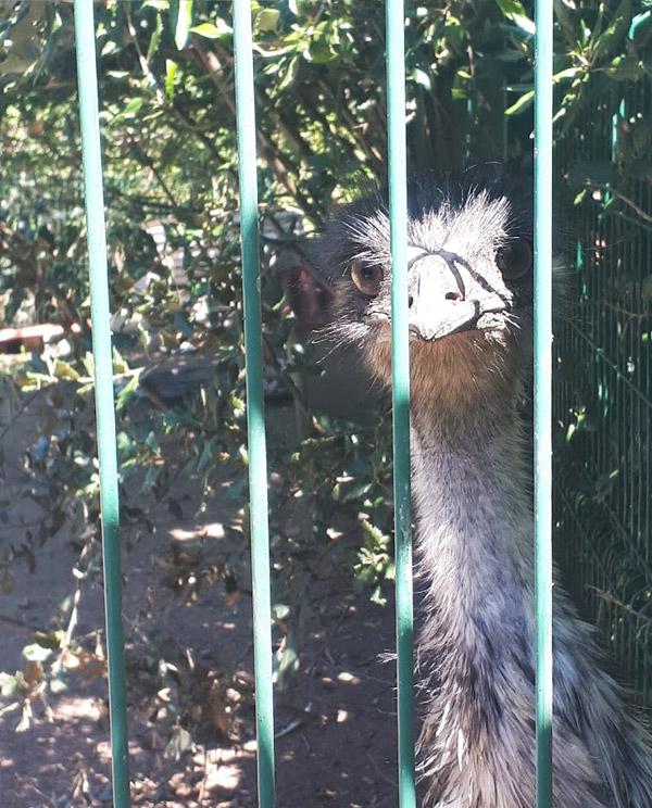 cucu-una-avestruz