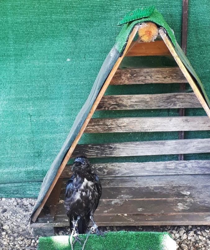 cuervo-trikuhari